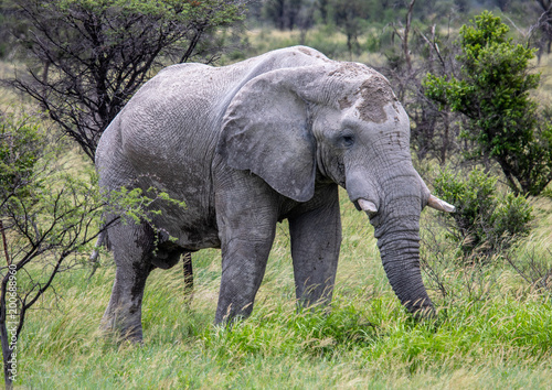 Aluminium Pistache African Elephant in the Nxai Pan National Park in Botswana during summer time