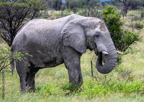 Foto op Canvas Beige African Elephant in the Nxai Pan National Park in Botswana during summer time