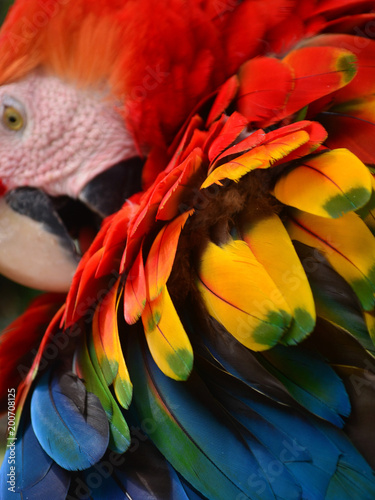 Colorful plumage of a Macaw in the Amazon rainforest