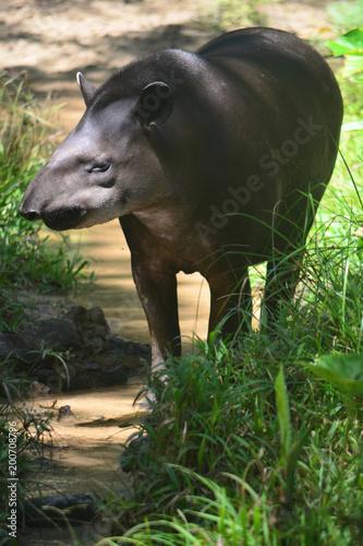 Tapir w amazońskim lesie deszczowym
