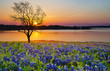 Beautiful Texas spring sunset over a lake. Blooming bluebonnet wildflower field and a lonely tree silhouette.