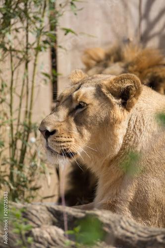 Plexiglas Lion Portrait eines weiblichen Löwen