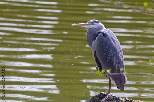 Graureiher sitzend auf einem Stein an einem Teich mit trübem Wasser Poster