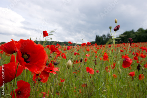 Rot blühender Klatschmohn auf einer grünen Wiese im Sommer