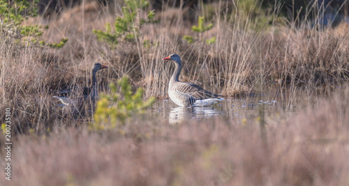 Two greylag geese in fen surrounded by high yellow grass.