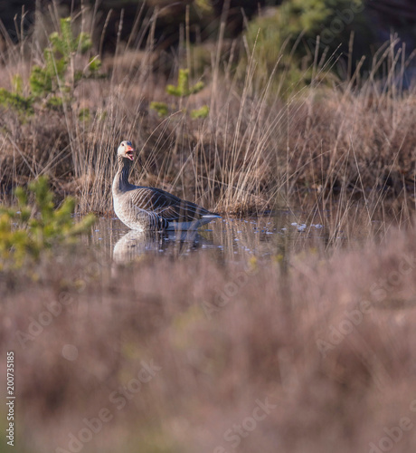 Foto Murales Shouting greylag goose in fen surrounded by high yellow grass.