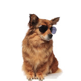 cool trendy seated brown dog with sunglasses looks to side