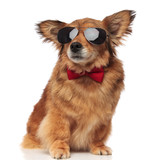 adorable classy brown dog with sunglasses is distracted