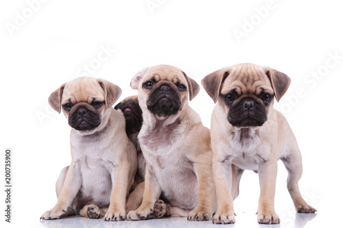 three sad pugs and an adorable one hiding behind them