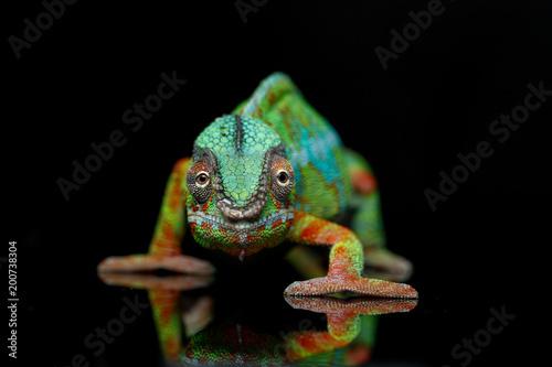 żywy kameleon gad