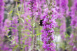 Leinwanddruck Bild - Pink flower and bumblebee in nature or garden