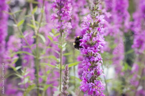 Leinwanddruck Bild Pink flower and bumblebee in nature or garden