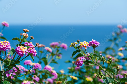 Fotobehang Cyprus lantana flowers against the blue sea, postcard, background for tourist booklet