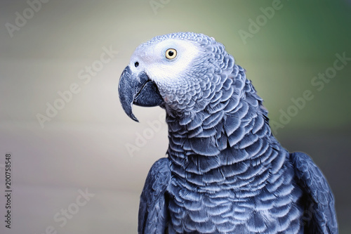 Plexiglas Papegaai The grey parrot Psittacus erithacus, also known as the Congo grey parrot or African grey parrot, is an Old World parrot in the family Psittacidae.
