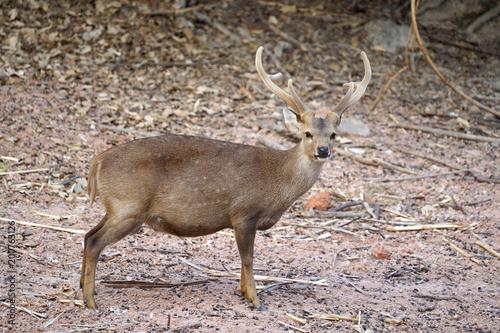 Foto Murales hog deer (Hyelaphus porcinus)