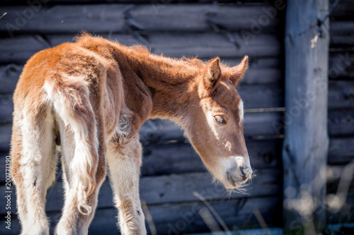 Fotobehang Paarden Beautiful red-haired foal posing for a portrait