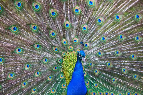 Foto Murales Peacock