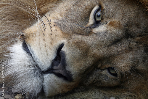 Extreme close up portrait of African lion