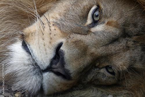 Plexiglas Lion Extreme close up portrait of African lion