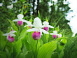 Showy Lady's-slipper - Cypripedium reginae - also known as Pink-and-white Lady's-slipper or the Queen's Lady's-slipper. Beautiful Minnesota State Flower - pink and white on green natural background