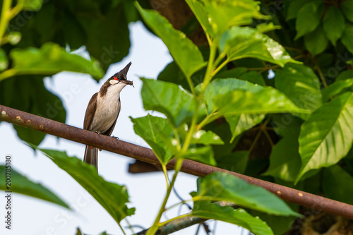 Foto op Canvas Natuur A red-whiskered bulbul bird with a prey in her beak.