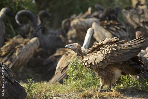 Foto Murales Vultures on a buffalo kill