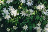 Clematis flowers closeup. Green wall in garden. Gardening background