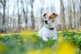 Jack russel terrier on yellow flowers meadow. Happy Dog with serious gaze
