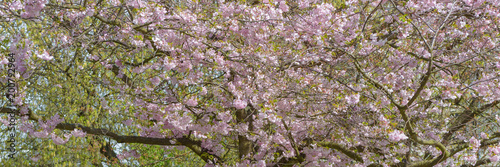 Sakura - kwiat wiśni wiosną w Berlinie