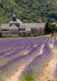 Senanque Abbey or Abbaye Notre-Dame de Senanque with lavender field in bloom, Gordes, Provence, France
