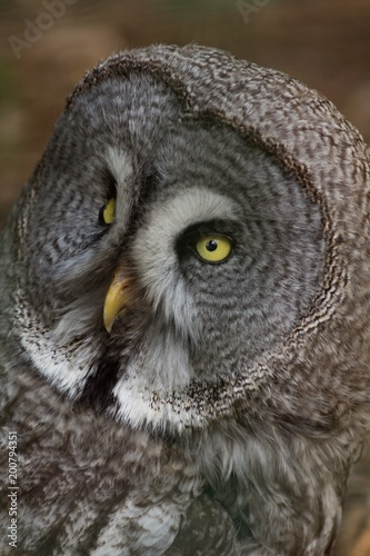 Owl portrait in nature, animal and bird background.