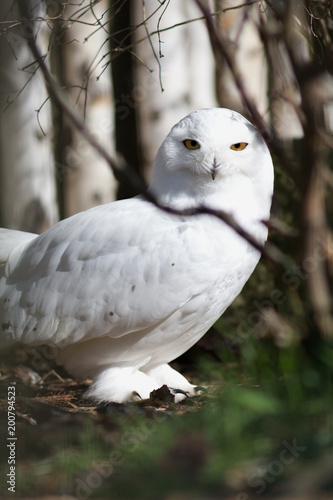 Foto Murales Bubo scandiacus - Snowy owl is a monotypical species of protected owl