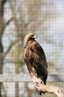 The Rock Eagle (Aquila chrysaetos) is one of the largest terrestrial eagles in the Northern Hemisphere