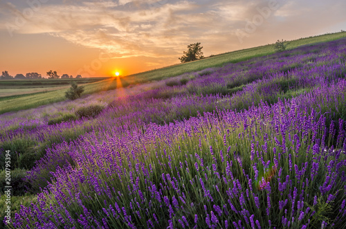 Blooming lavender fields in Poland, beautfiul sunrise - 200795394