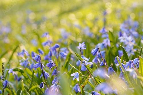Romantyczne błękitne gwiazdy w wiosny łące