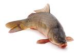 Big fresh carp. - 200798797