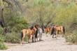 Wild Horses Near the Salt River in the Arizona Desert - 200799799