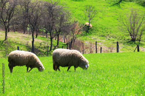 Foto op Plexiglas Lime groen sheep flock in the mountain