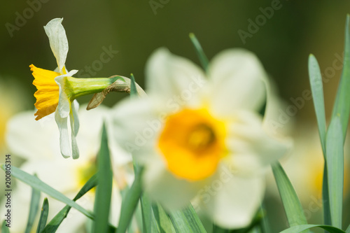 Białe żonkile z boku na wiosnę