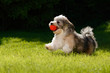 Playful havanese puppy running with his red ball in the grass