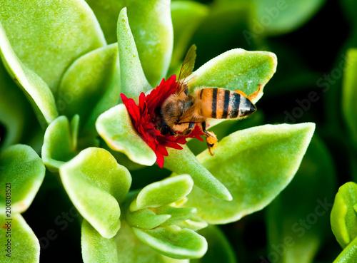 Foto Murales Macro photo of flowers, flower and honey bee