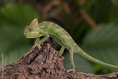 Zawoalowany kameleon (Chamaeleo calyptratus) / Juvenile Veiled Chameleon walking wzdłuż gałęzi drzewa