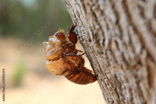 Foto Murales cicada shell