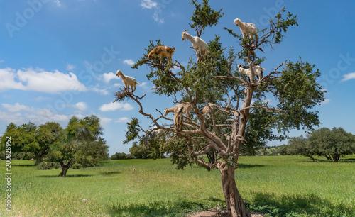 Keuken foto achterwand Marokko Landscape with goats in a big tree