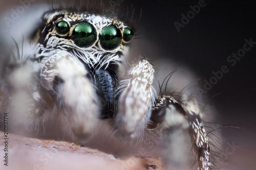 Foto Murales Jumping spider macro