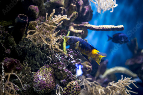 Blue tropical fish swimming on a coral reef under the blue sea Poster