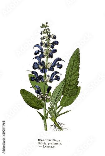 Ilustracja botaniczna.