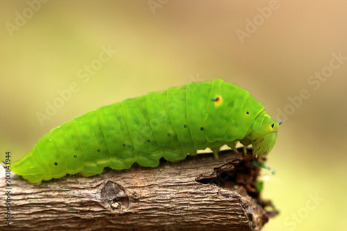 Foto Murales green horned caterpillar. this type of caterpillar is many found in tropical forests, such as in indonesia.  this caterpillar has black and yellow horn on the head. it usually eat leaf as the meal