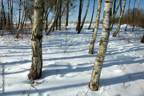 Fotobehang Berkenbos Birch trees and shadows on the snow