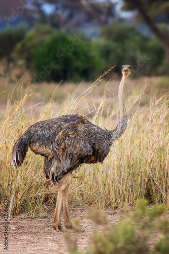 Foto Murales African ostrich (Struthio camelus)